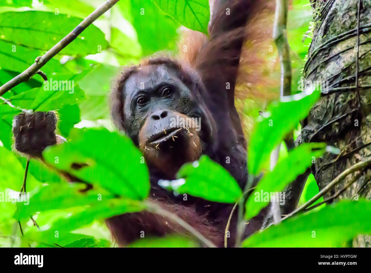 Disparo a la cabeza de un orangután mirando a través de las hojas Imagen De Stock
