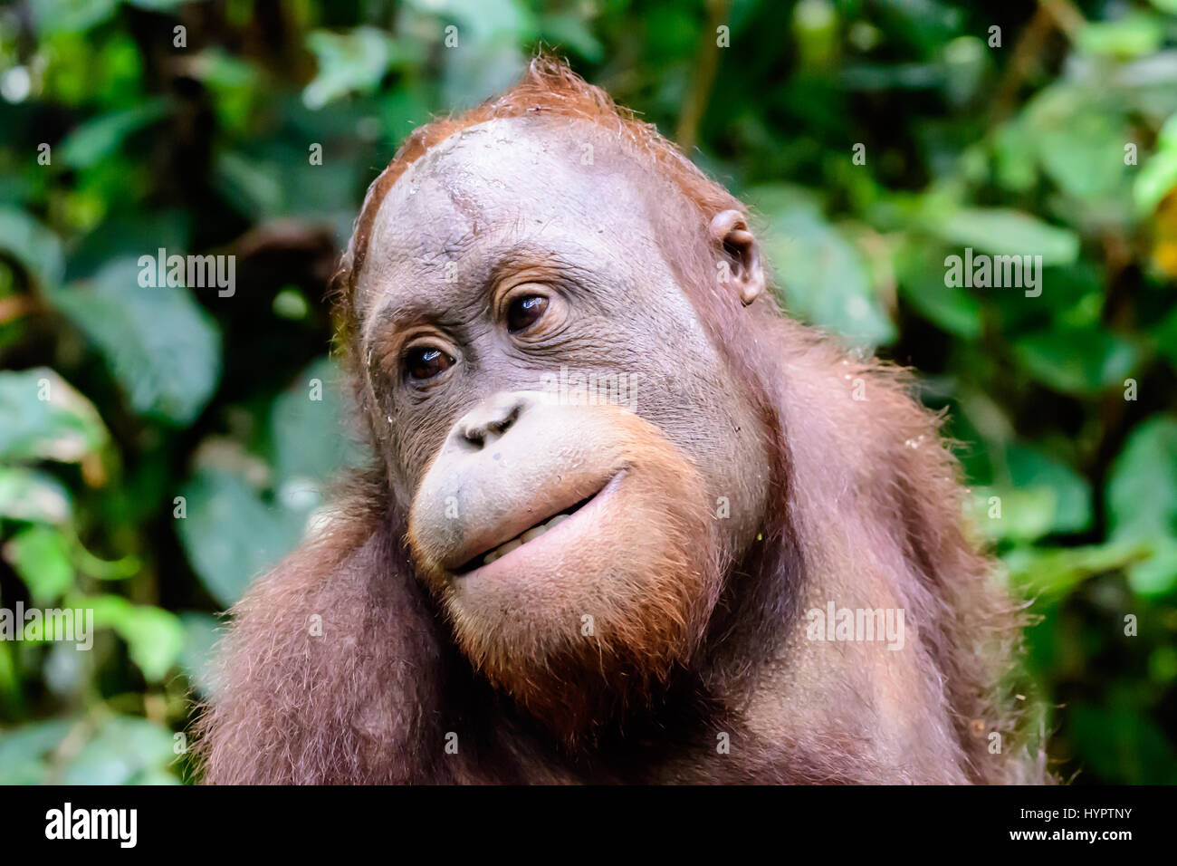Disparo a la cabeza de un orangután Imagen De Stock