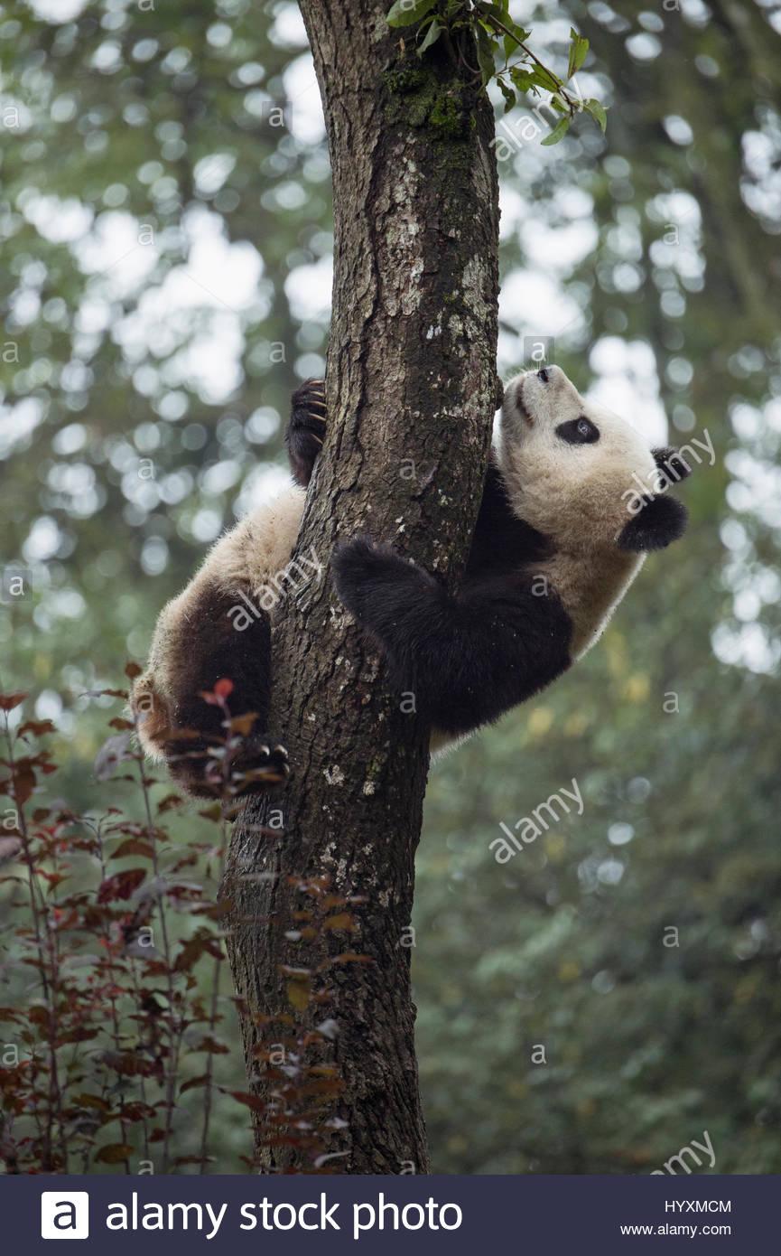 2-año-viejo panda gigante trepa a un árbol en la base Panda Bifengxia en la provincia de Sichuan. Imagen De Stock