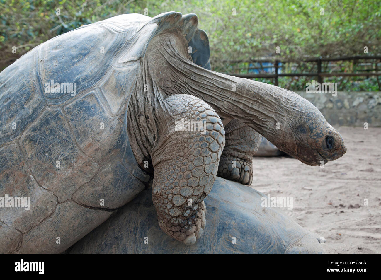 Las tortugas gigantes de Galápagos (Chelonoidis nigra) apareamiento en Quito zoo Imagen De Stock