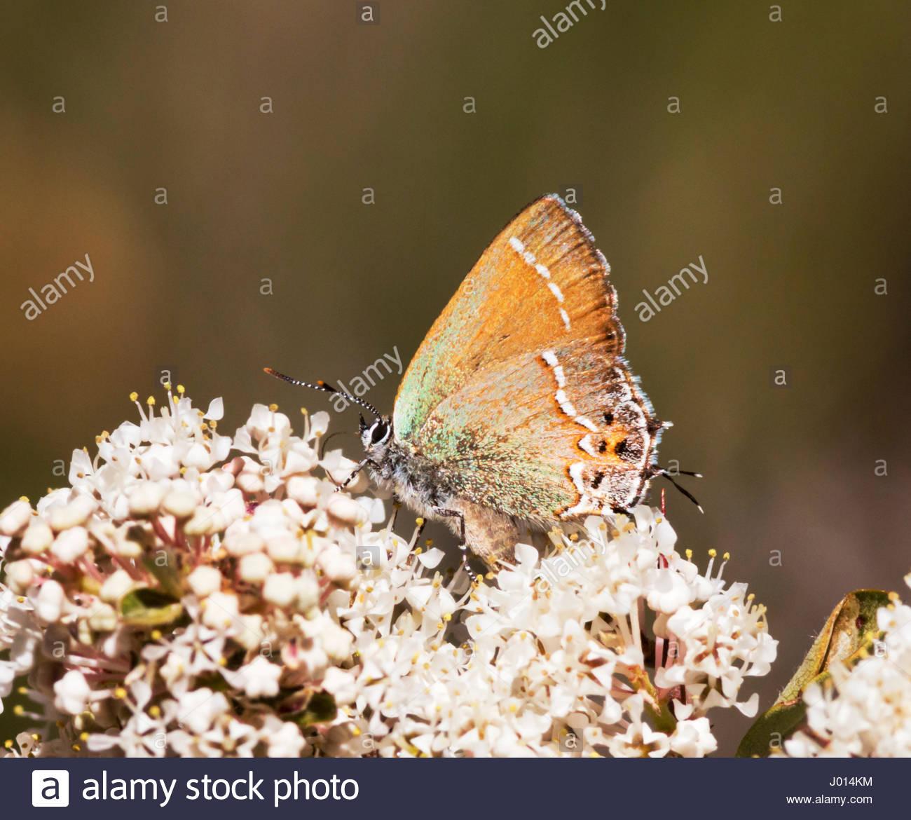 Siva Juniper Hairstreak, Callophrys gryneus siva, Mitoura gryneus siva, Mariposa , de flores blancas en Arizona Foto de stock
