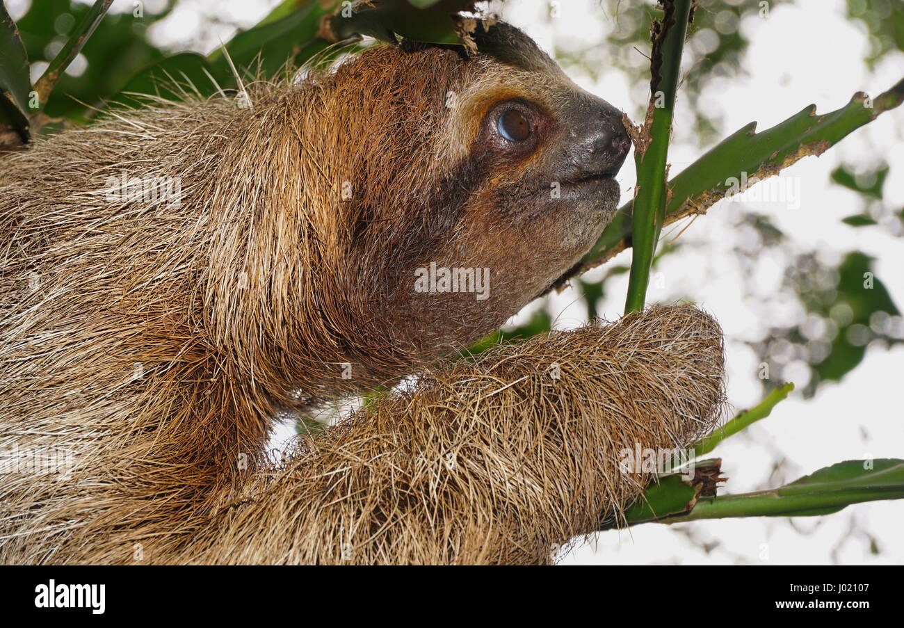Brown throated tres vetado sloth jefe perfil, animal salvaje en la Selva, Costa Rica, Centroamérica Imagen De Stock