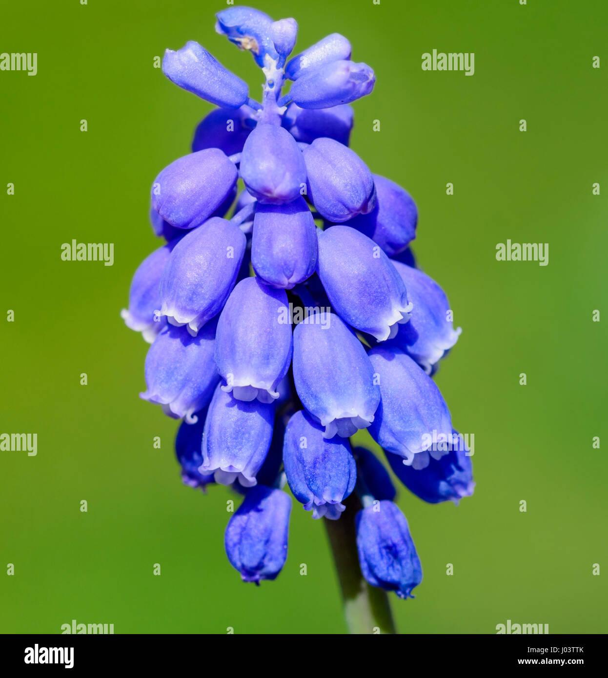Jacinto de la uva. Cierre de un armenio Jacinto de la uva (Muscari armeniacum) Planta en West Sussex, Inglaterra, Imagen De Stock