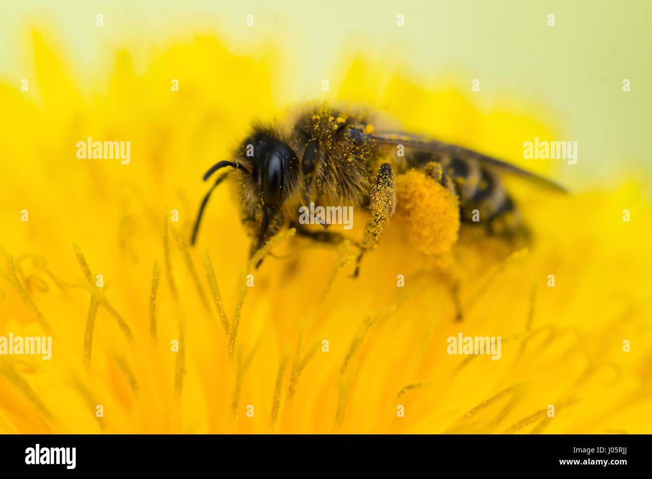 Cerca de una abeja de miel (Apis mellifera) recogiendo polen de un diente de león (Taraxacum officinale) Foto de stock