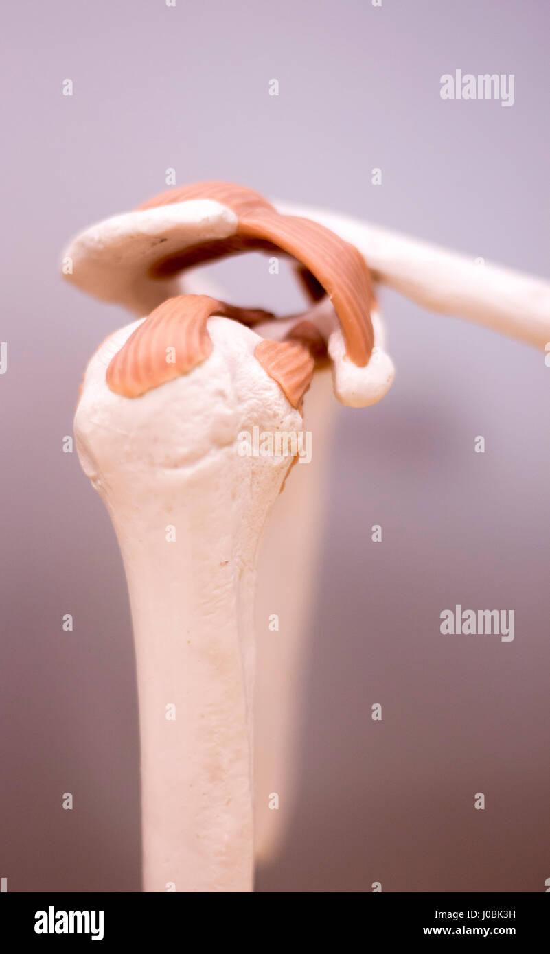 El omóplato y posterior estudio médico anatomía del estudiante ...