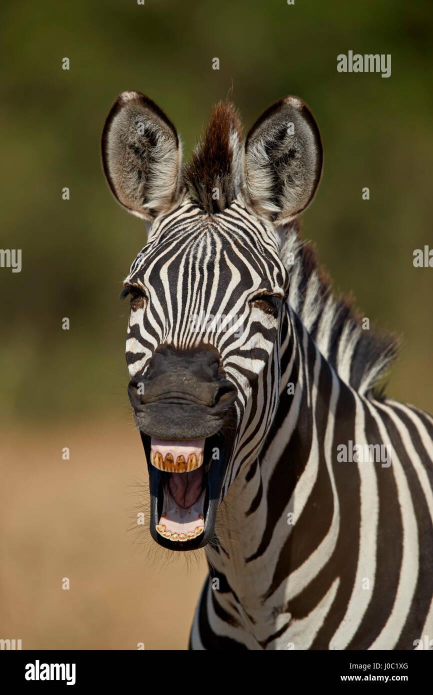 Common cebra (zebra) llanuras (Burchell zebra) (Equus burchelli) bostezos, el Parque nacional Ruaha, Tanzania Imagen De Stock