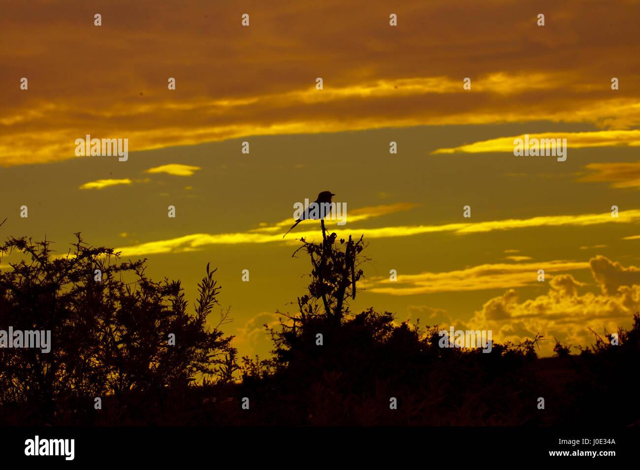 Lila-breasted roller Coracias caudatus retrato al amanecer Namibia Marzo Foto de stock