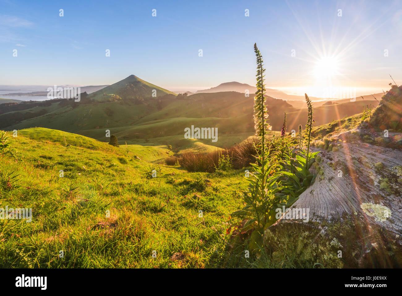 Floración blanco digital (Digitalis purpurea), Sunrise vista de la península de Otago, puerto de montaña Imagen De Stock