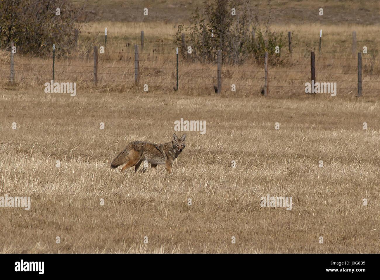 Un coyote hunts en un lugar seco, campo de otoño Imagen De Stock