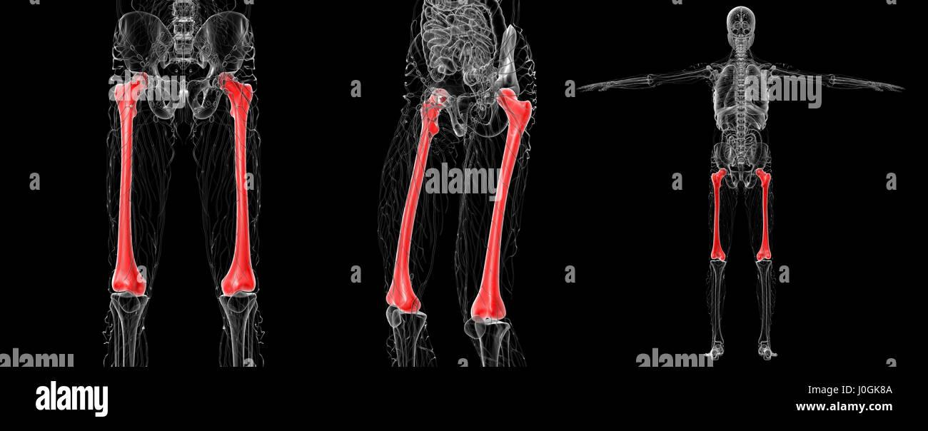 Femur Imágenes De Stock & Femur Fotos De Stock - Página 8 - Alamy