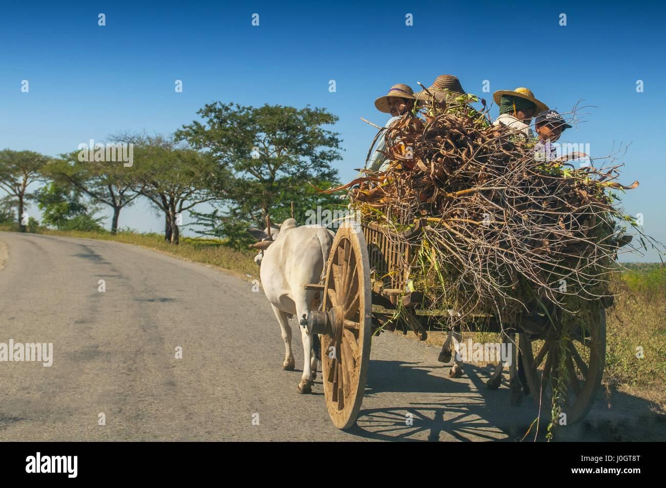 El hombre rural birmana conduce carro de madera con heno en carretera polvorienta dibujado por dos búfalos blancos. Paisaje rural y tradicional aldea la vida en Birmania count Foto de stock