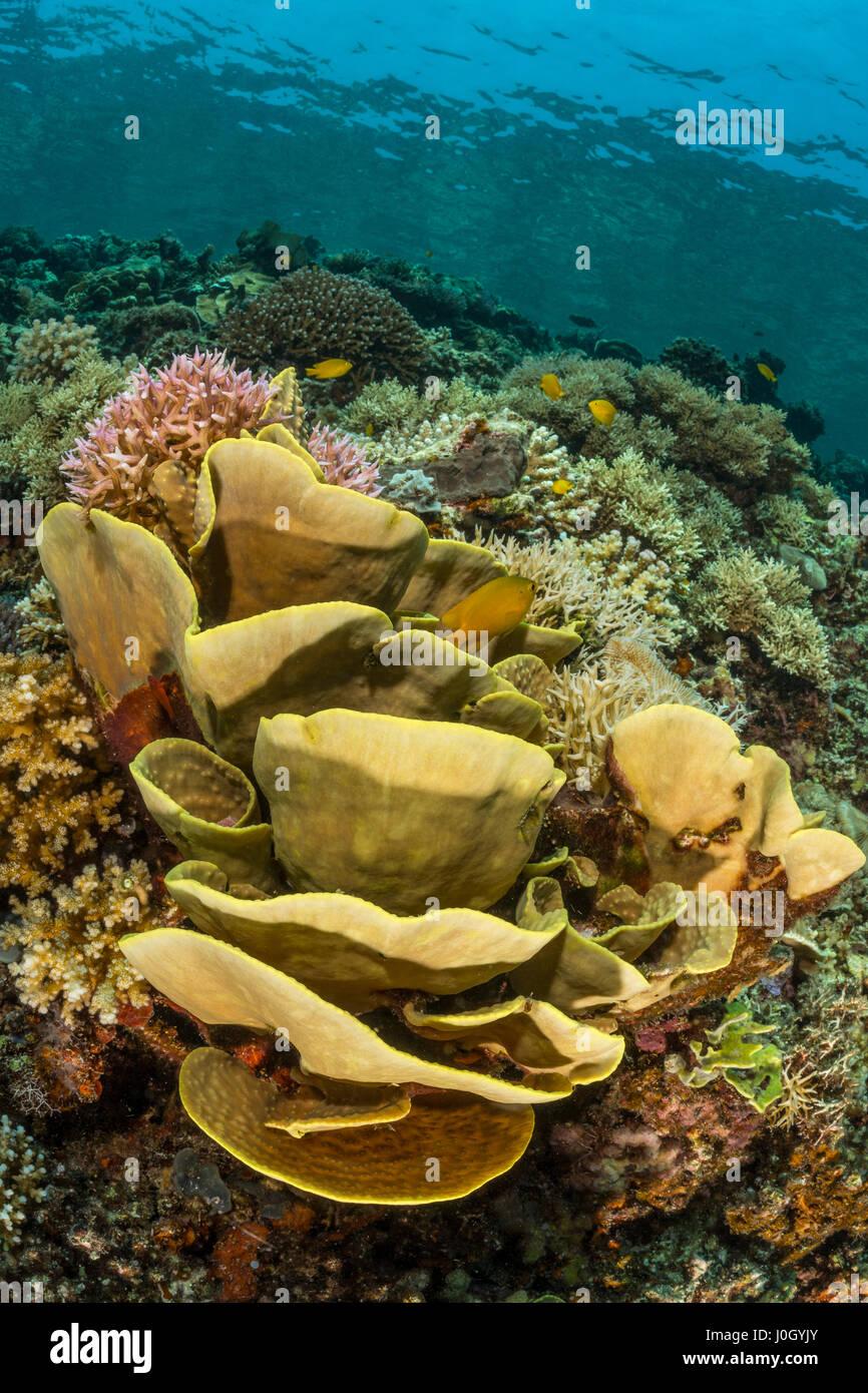 Los corales duros, placa Echinopora sp., la bahía de Cenderawasih, Papua Occidental, Indonesia Imagen De Stock