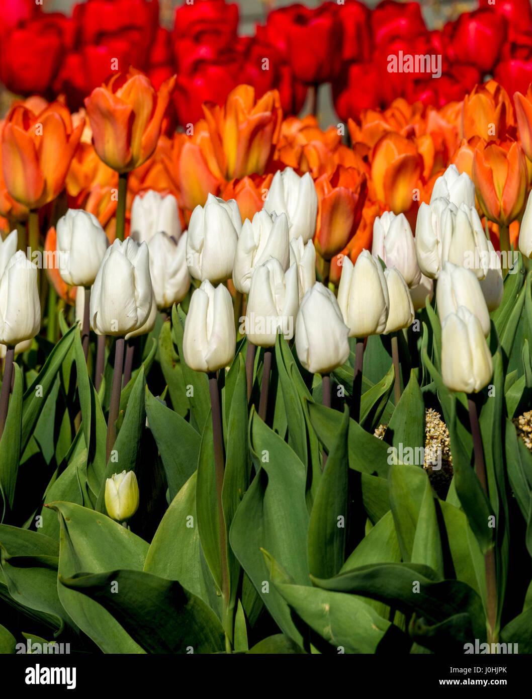 Blanco, Naranja y tulipanes rojos en la primavera de cama de flor en el exterior Foto de stock