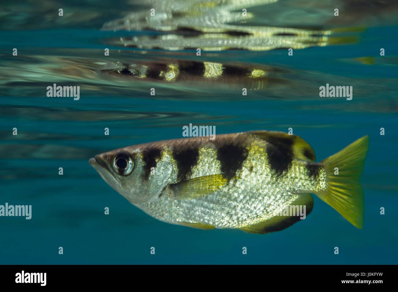 Archerfish, Toxotes jaculatrix anillados, Raja Ampat, Papua Occidental, Indonesia Imagen De Stock