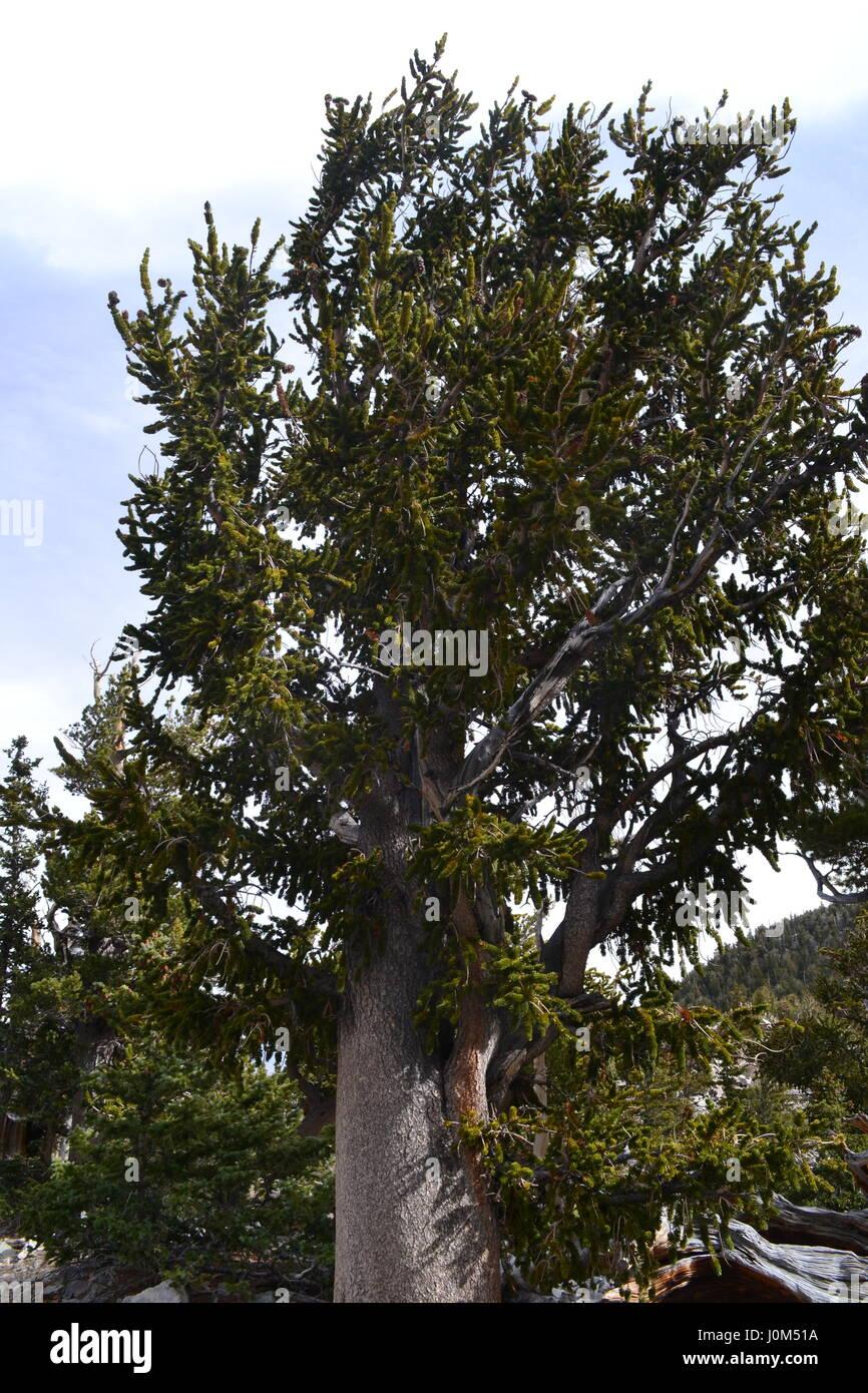 Cono de cerda de pino de Great Basin National Park, Nevada Foto de stock