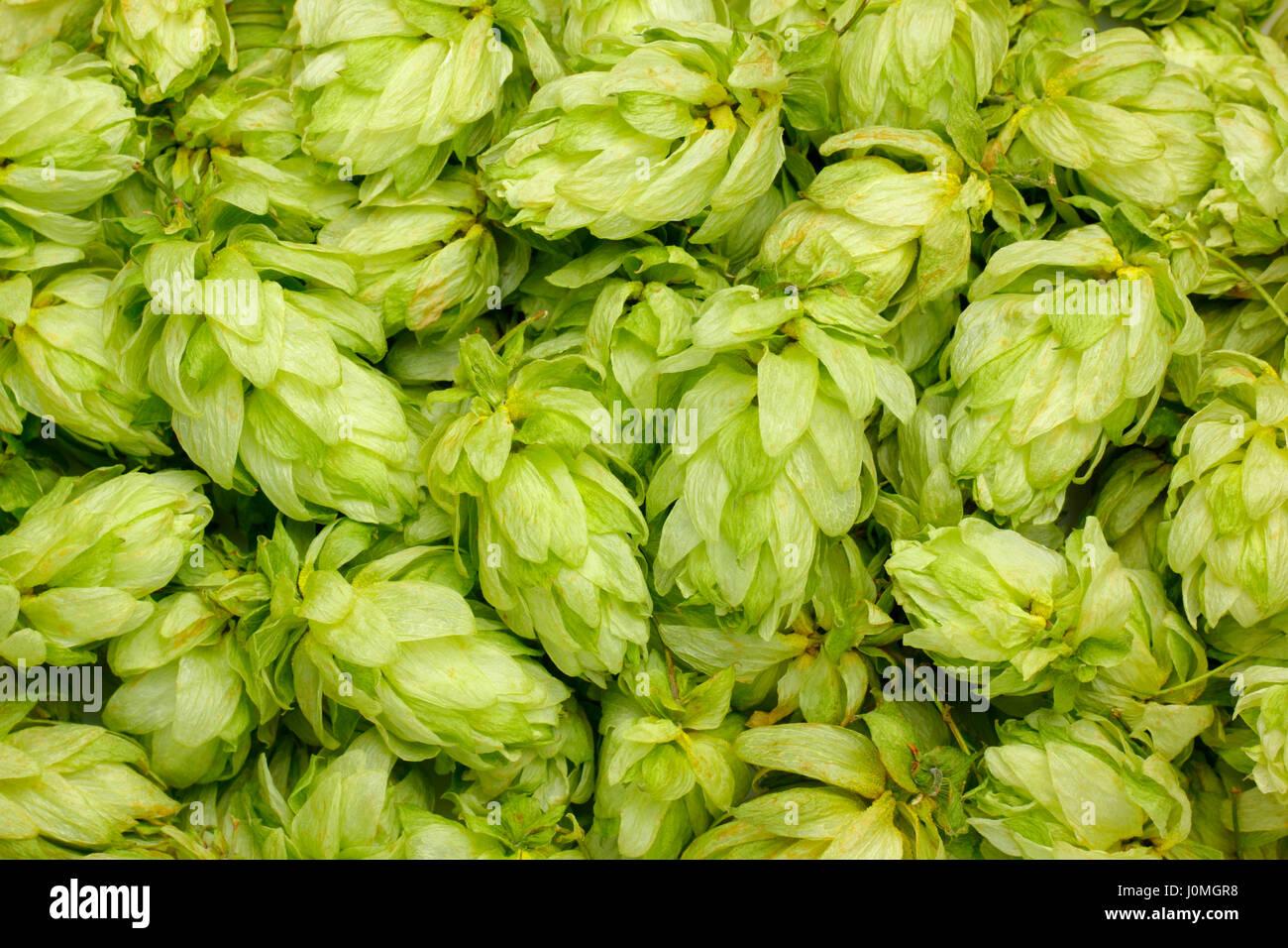 Dried Hop Humulus Lupulus Imágenes De Stock & Dried Hop Humulus ...