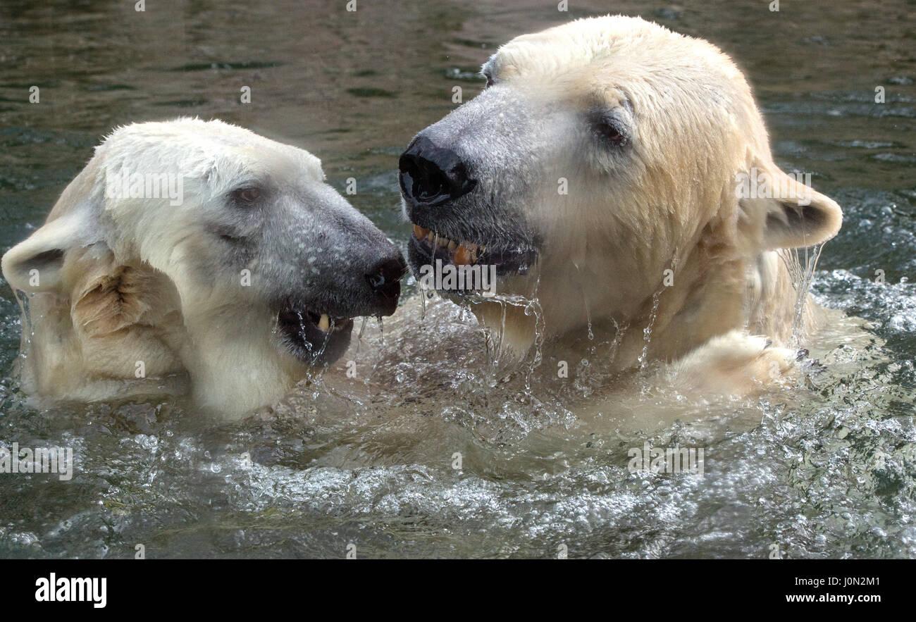Munich, Alemania. 08 Feb, 2016. (Archivo) · Un archivo de imagen, de fecha 08.02.2016, muestra la pareja de osos Foto de stock