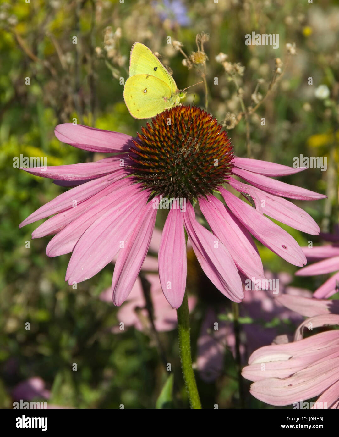 Azufre común, Colias philodice mariposas en Purple Coneflower Foto de stock
