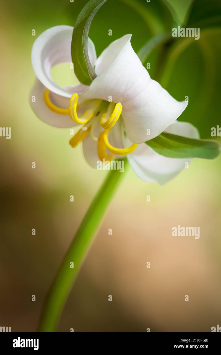 Aparte de la Trillium pintada, creo que este es el más bonito de los miembros de la familia. Son muy fáciles Imagen De Stock