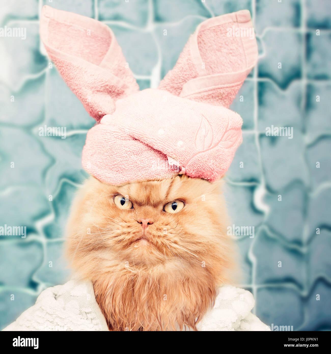 Gato persa después del baño Imagen De Stock
