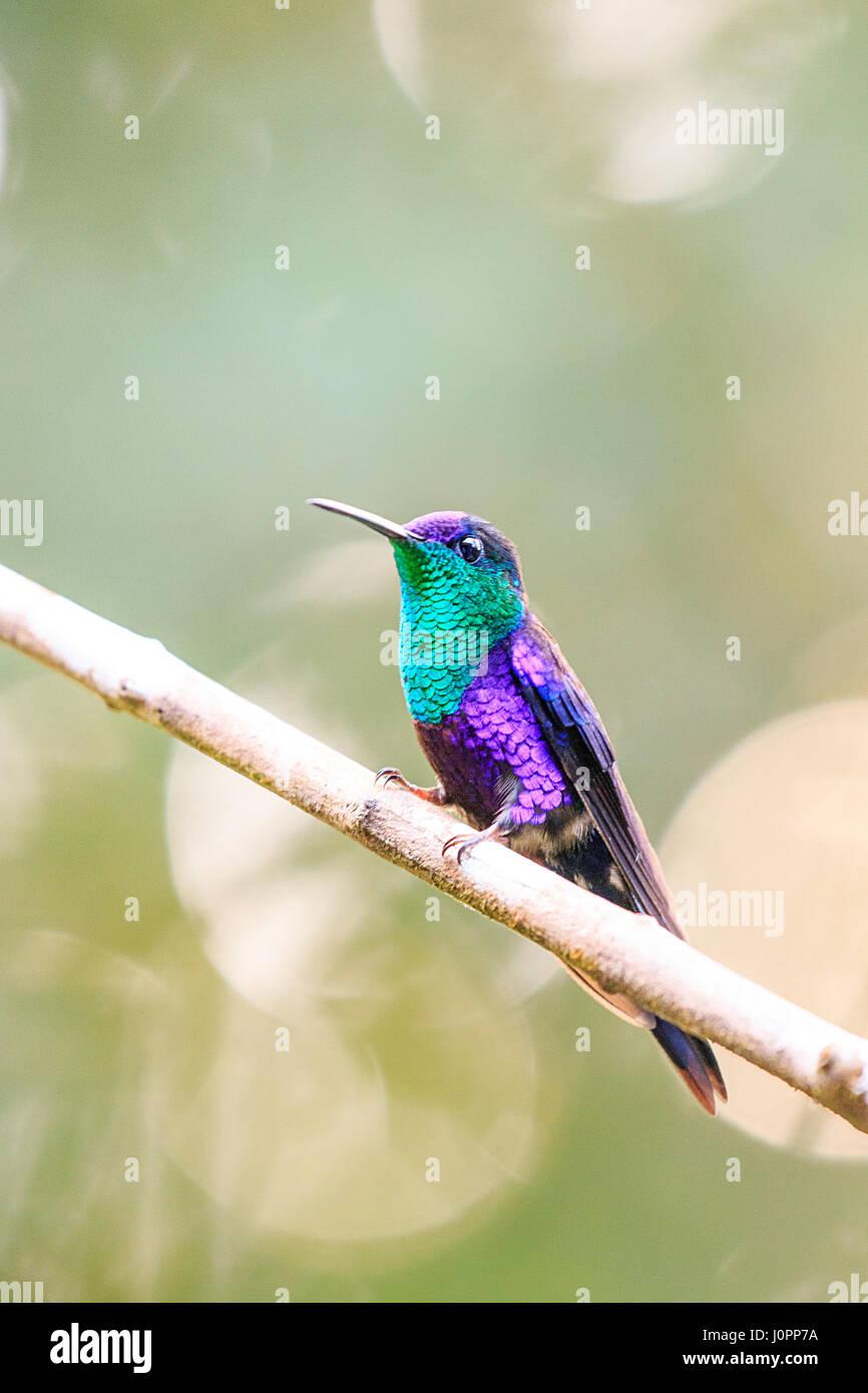 Violeta coronada ninfa de madera de Panamá Foto de stock