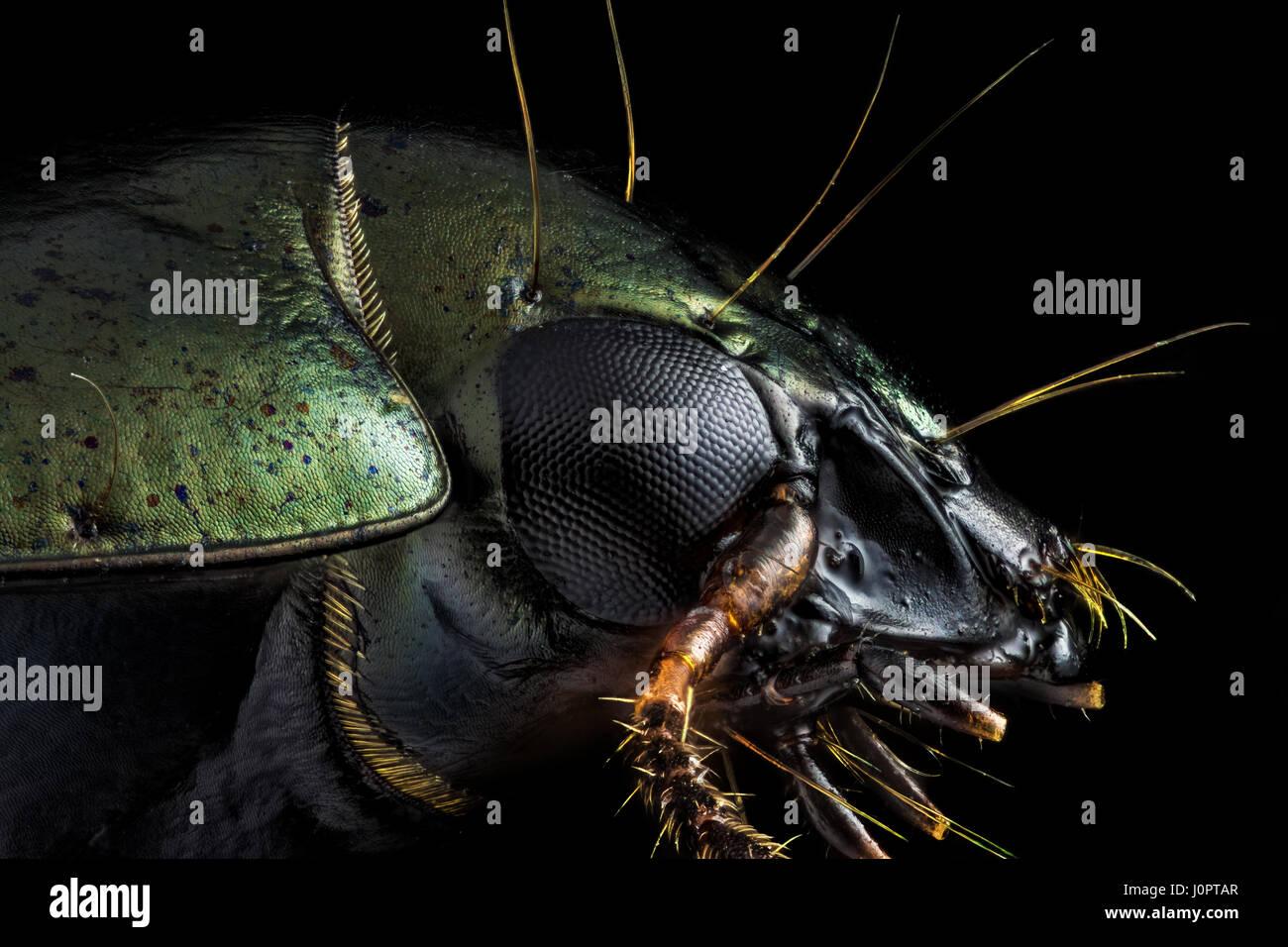 Macro extrema - Perfil retrato de un escarabajo verde fotografiado a través de un microscopio en x10 Ampliación. Imagen De Stock
