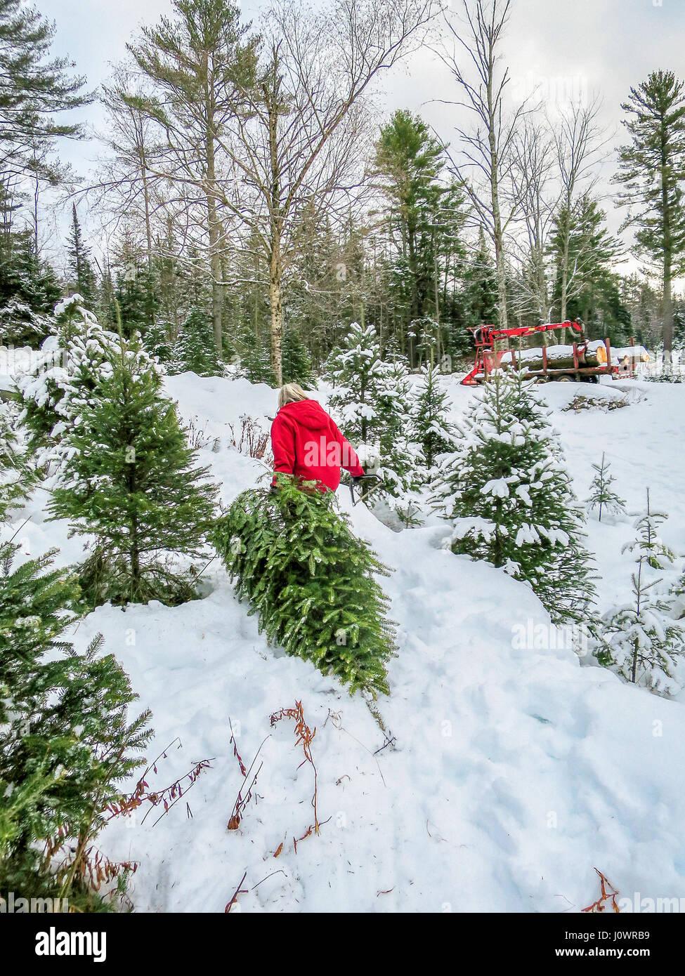 Una mujer en un rojo brillante Chaqueta invierno arrastra su árbol de Navidad cortar a través de la profundidad de la nieve en una granja de árboles de Navidad en el norte de New Hampshire, Estados Unidos. Foto de stock