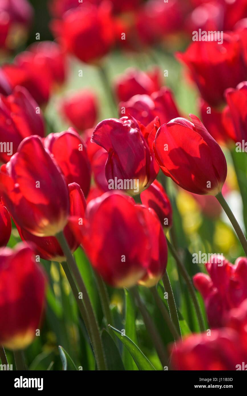 Flores Tulipán Tulipa Bedding Plant Planta perenne Flor pétalos rojo vibrante colorido colorido jardín Imagen De Stock