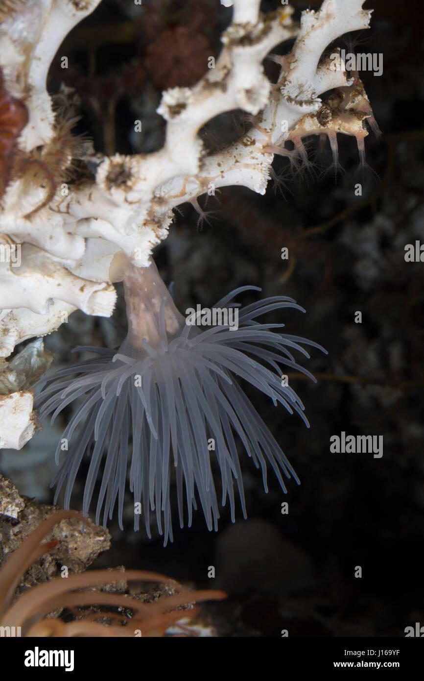 Protanthea-Anemone, Seeanemone, Seeanemonen Sealoch Protanthea, simplex, anémonas, anémona de mar, anémonas de mar, las anémonas de mar, Blumentier, Blumentiere, Ant Foto de stock