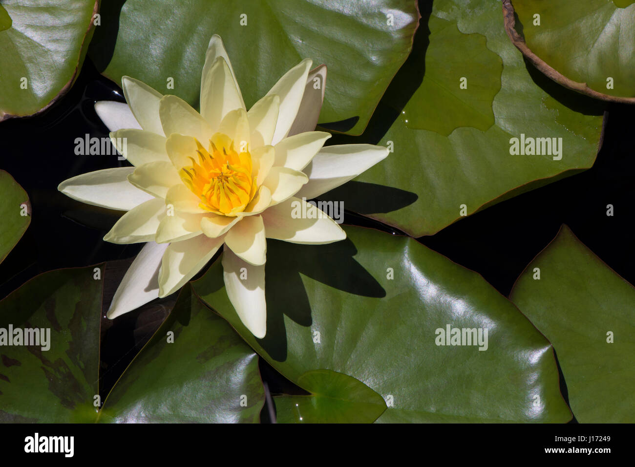 Yellow nymphaea im genes de stock yellow nymphaea fotos Estanque natural como hacerlo