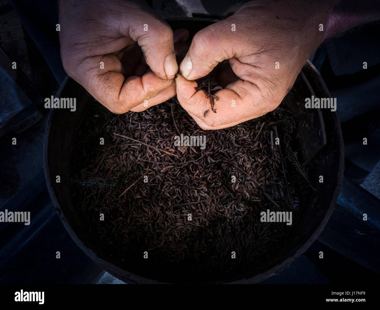 Para favorecer la germinación de semillas de ebullición (técnica de escarificación). Un hombre Imagen De Stock