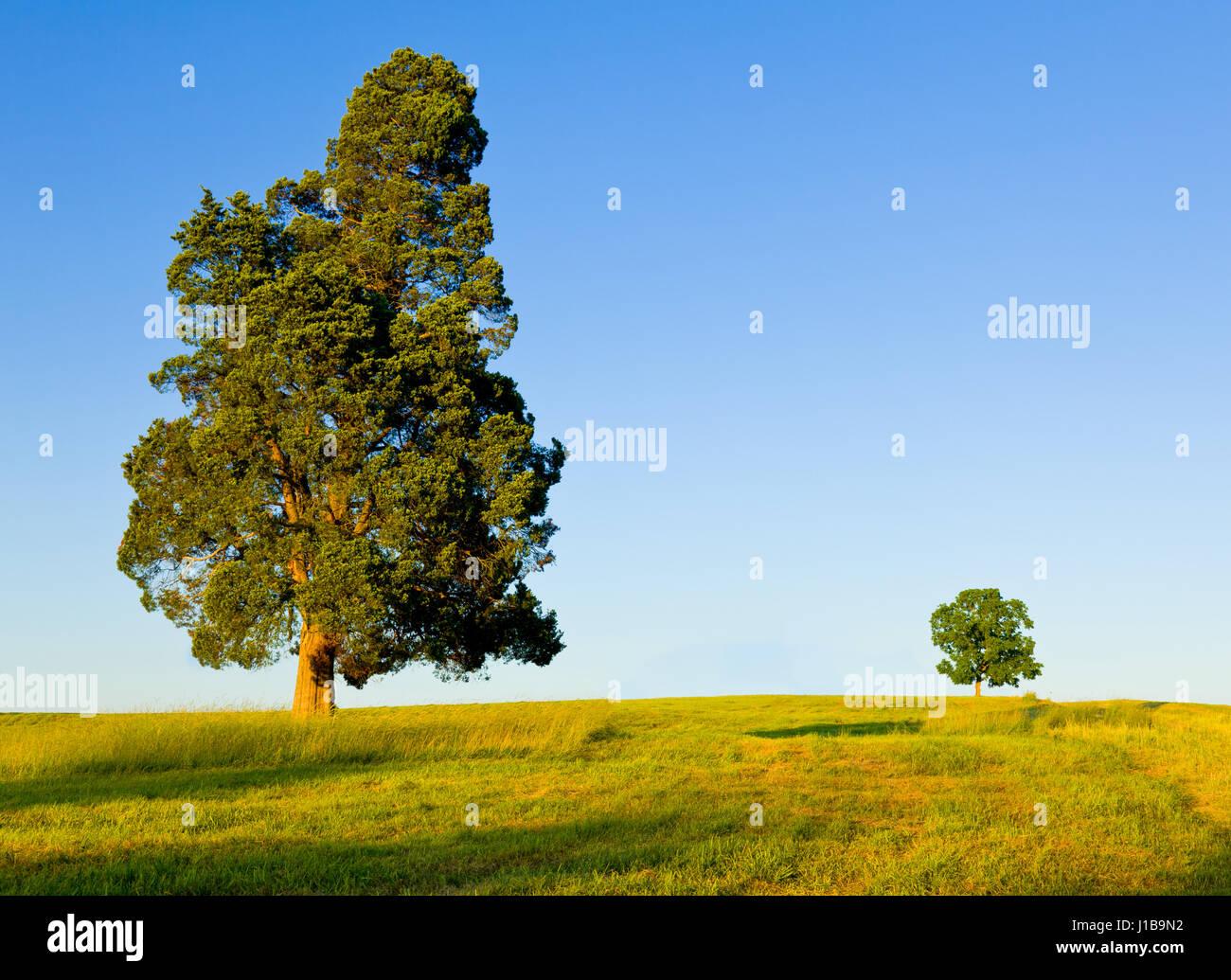 Árbol tipo pino grande con otro pequeño árbol en el horizonte en el prado o campo de protección Imagen De Stock