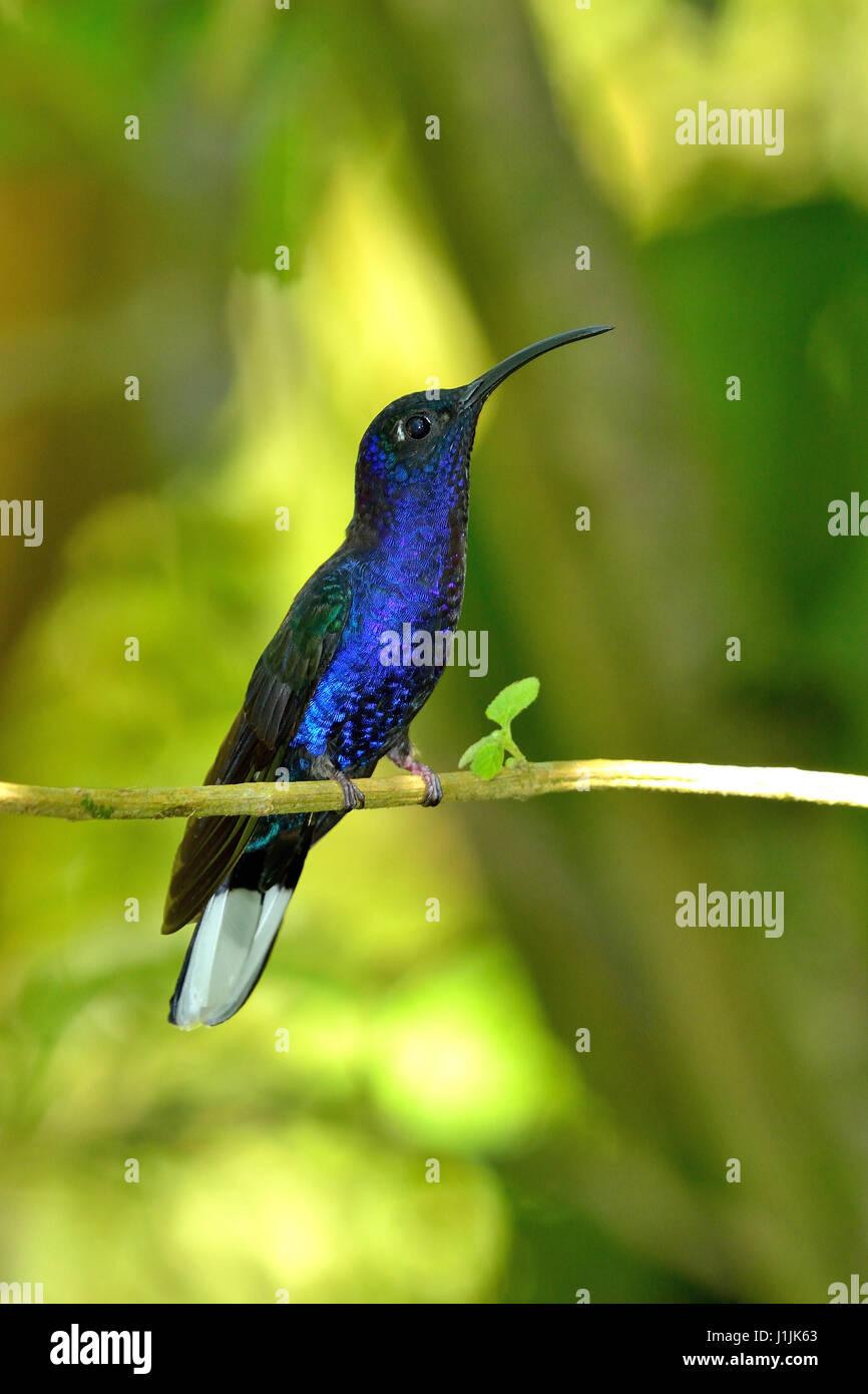 Violet Sabrewing en el bosque nuboso de Costa Rica Foto de stock