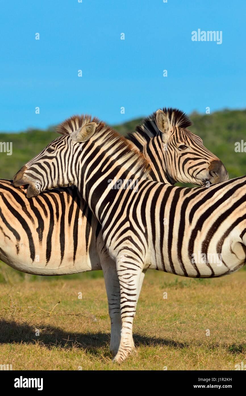 Dos cebras de Burchell (Equus quagga burchellii), de pie en la pradera, Parque Nacional Addo, Eastern Cape, Sudáfrica, Imagen De Stock