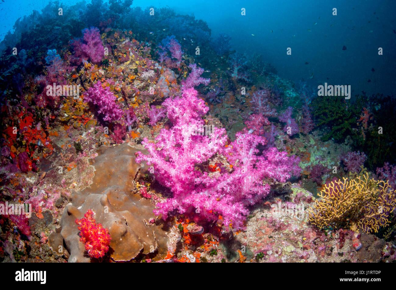 Corales blandos [Dendronephthya sp.] en pendiente de arrecifes de coral. Mar de Andamán, Tailandia. Foto de stock