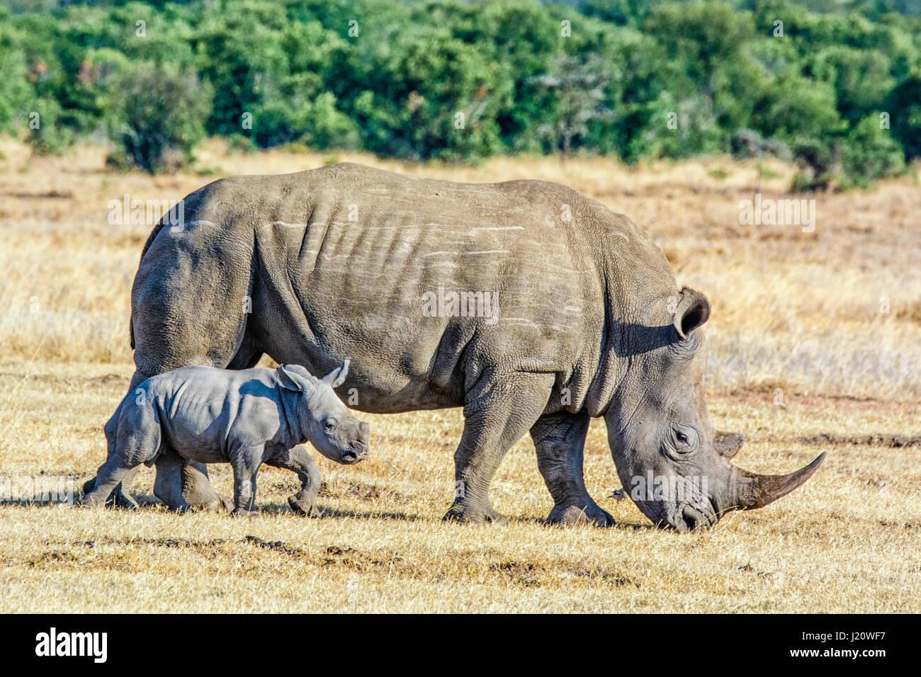 Adulto del rinoceronte blanco Ceratotherium simum, con pequeñas en la pantorrilla, Ol Pejeta Conservancy, Kenia, Imagen De Stock