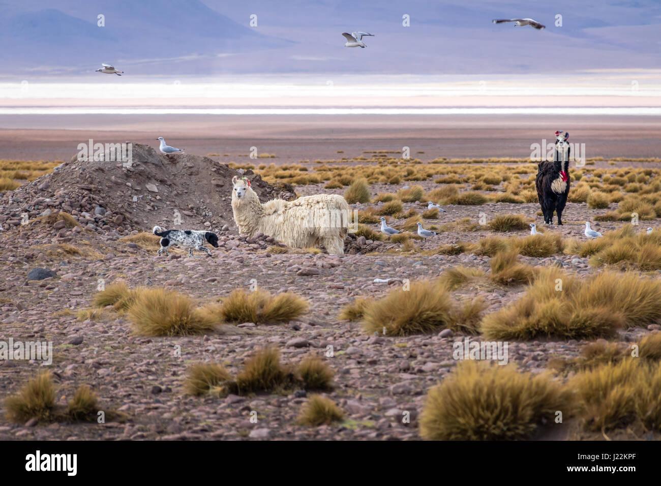 Llamas en el altiplano Bolivean - El Departamento de Potosí, Bolivia Imagen De Stock