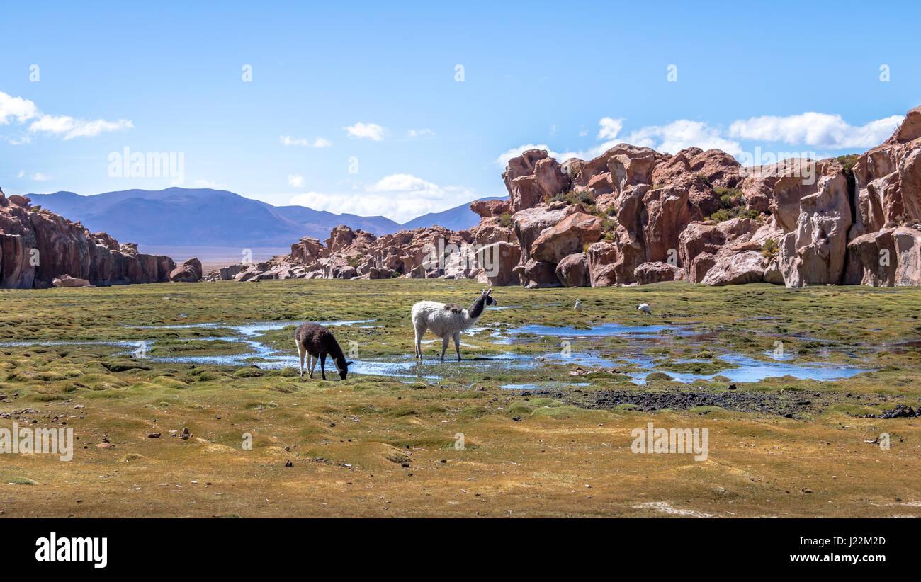 Llamas en el altiplano Bolivean con formaciones rocosas de fondo - El Departamento de Potosí, Bolivia Imagen De Stock