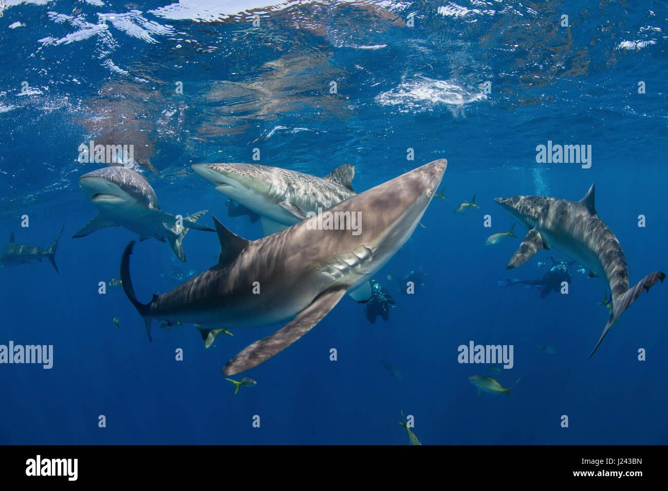 Los fotógrafos submarinos con tiburones sedosos. Foto de stock