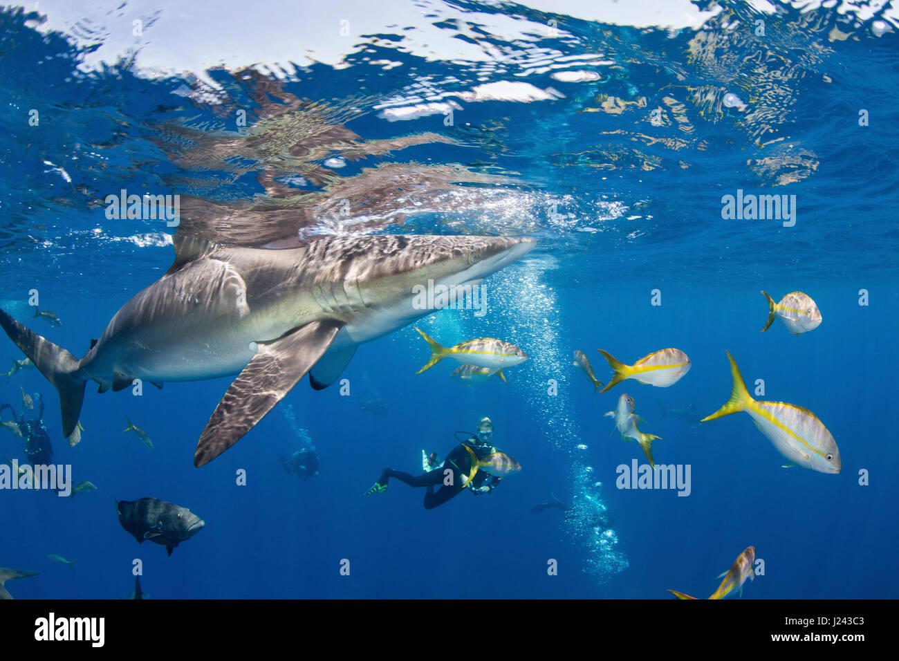Fotógrafo submarino con tiburón sedoso. Foto de stock