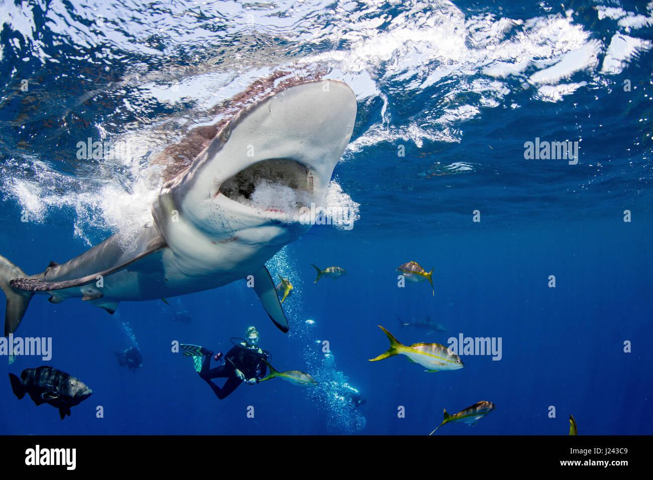 Los buceadores con tiburón sedoso Foto de stock
