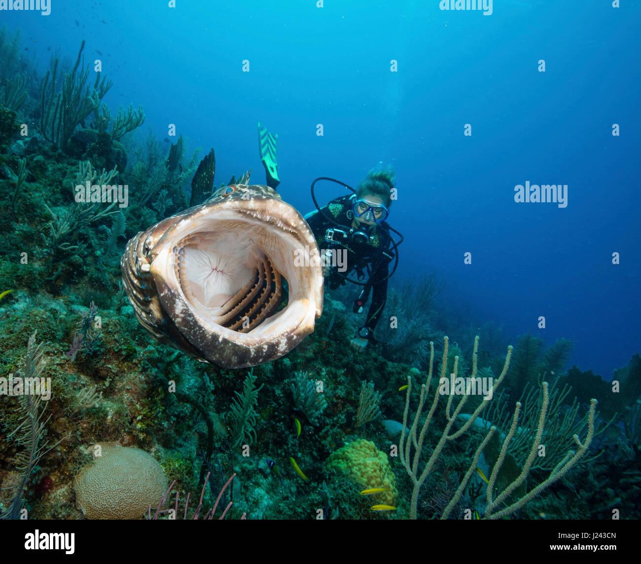 Scuba Diver toma video de mero negro. Foto de stock