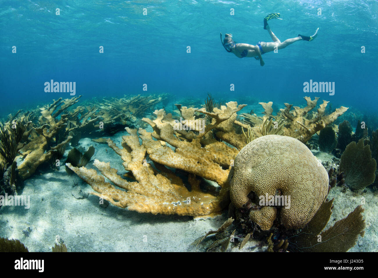 Buceador flota sobre campo de corales duros. Foto de stock