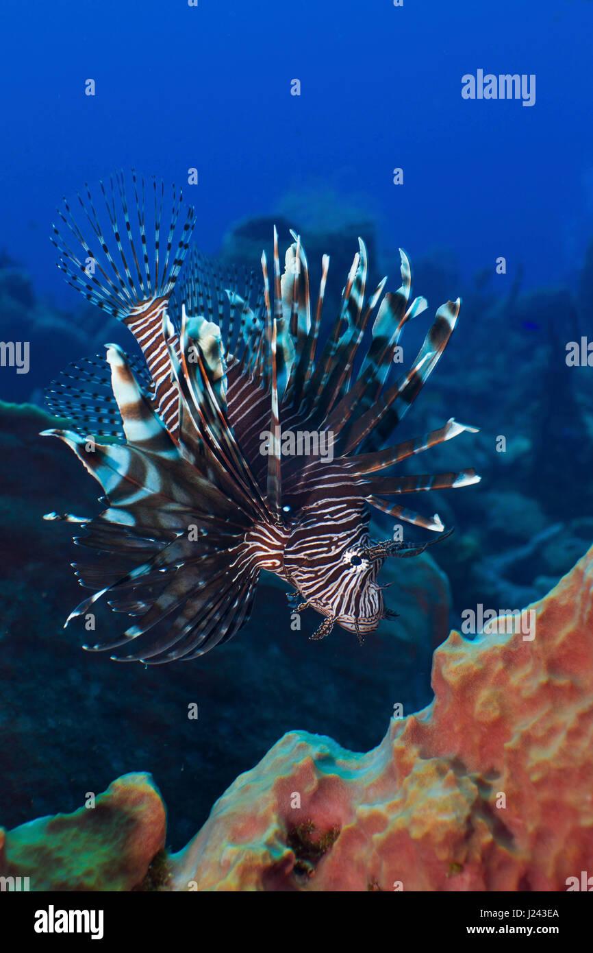 Pez león invasiva en arrecifes en el Caribe. Foto de stock
