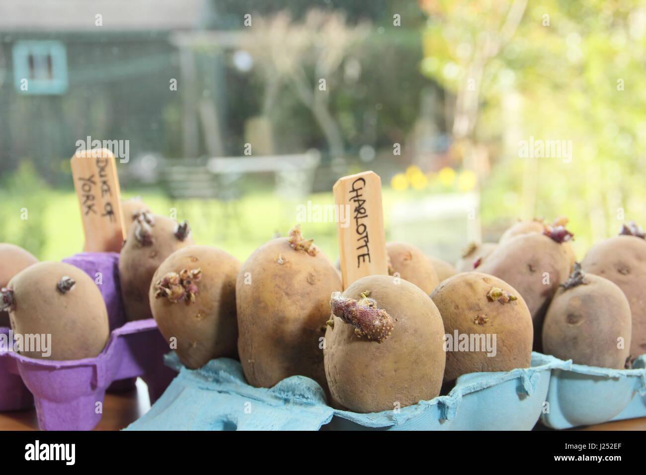 Las patatas de siembra Chitting en cajas de huevo en el alféizar de la ventana soleada para promover fuertes Imagen De Stock