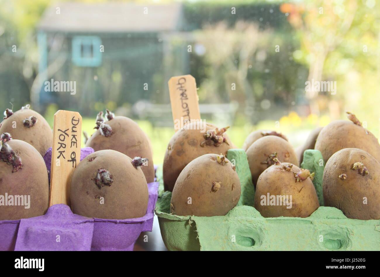 Chitting patatas de siembra de variedades en cajas de huevo en el alféizar de la ventana soleada para promover Imagen De Stock