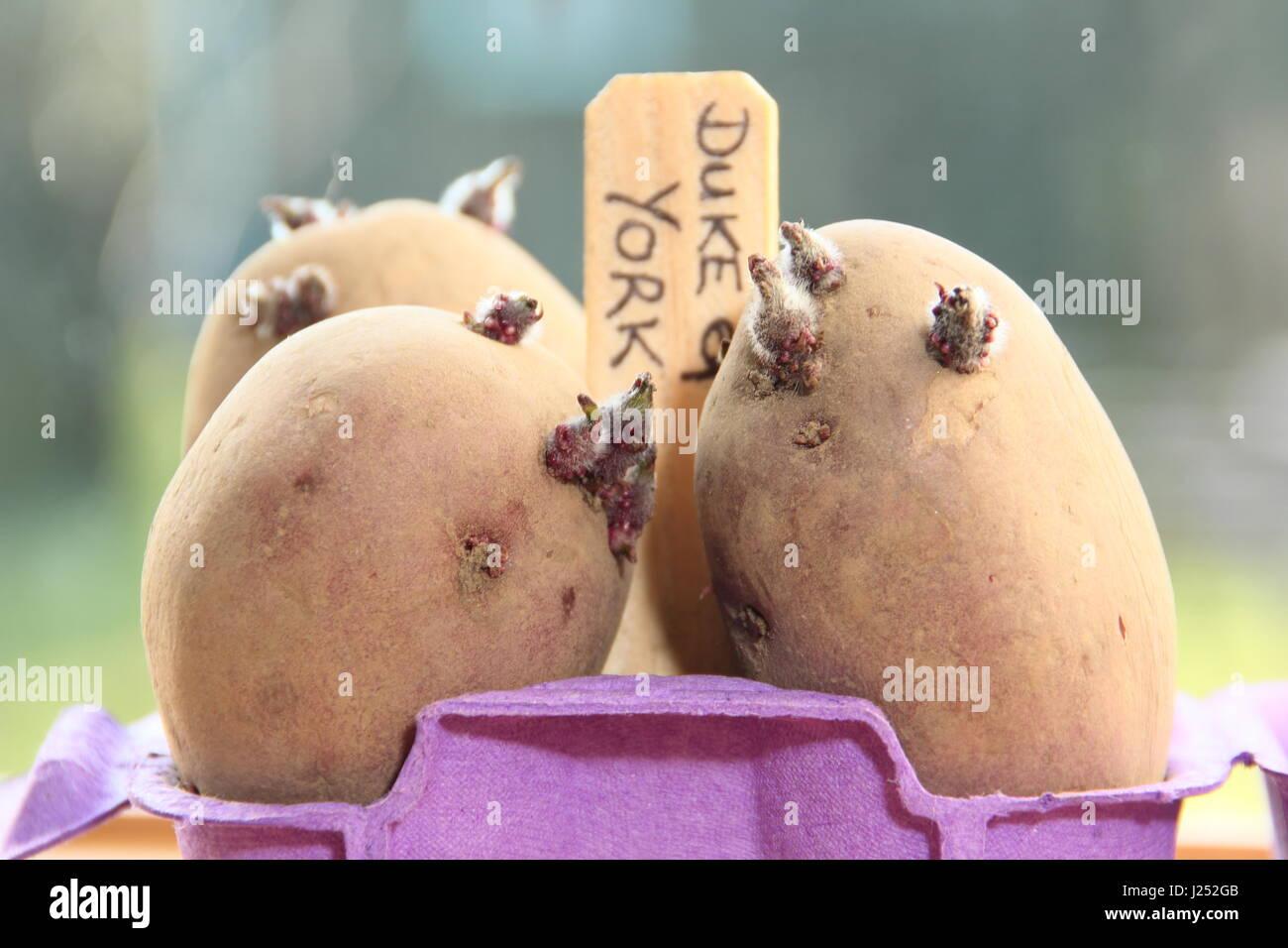 Las patatas de siembra Chitting caja de huevos en contenedores en el alféizar de la ventana soleada para promover Imagen De Stock