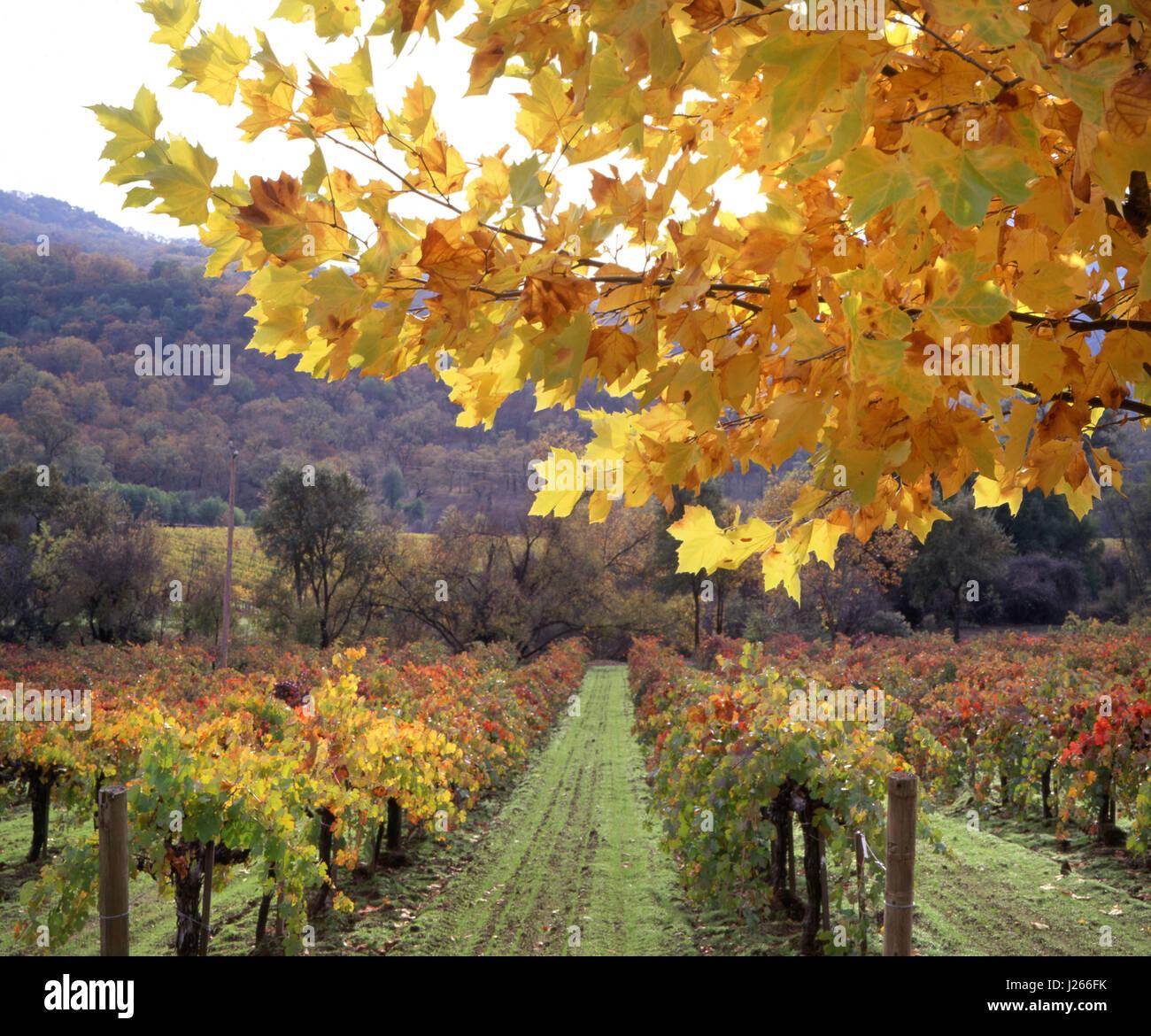 Árbol de arce en colores otoñales encuadre biodinámica orgánicos ...
