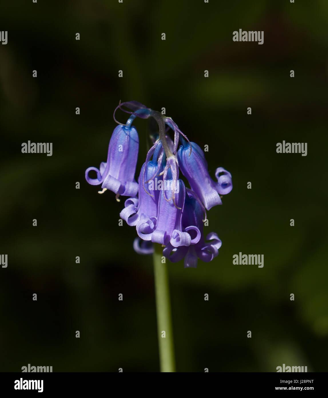 Detalle de cerca de inglés común bluebell hyacinthoides non-scripta. Imagen De Stock