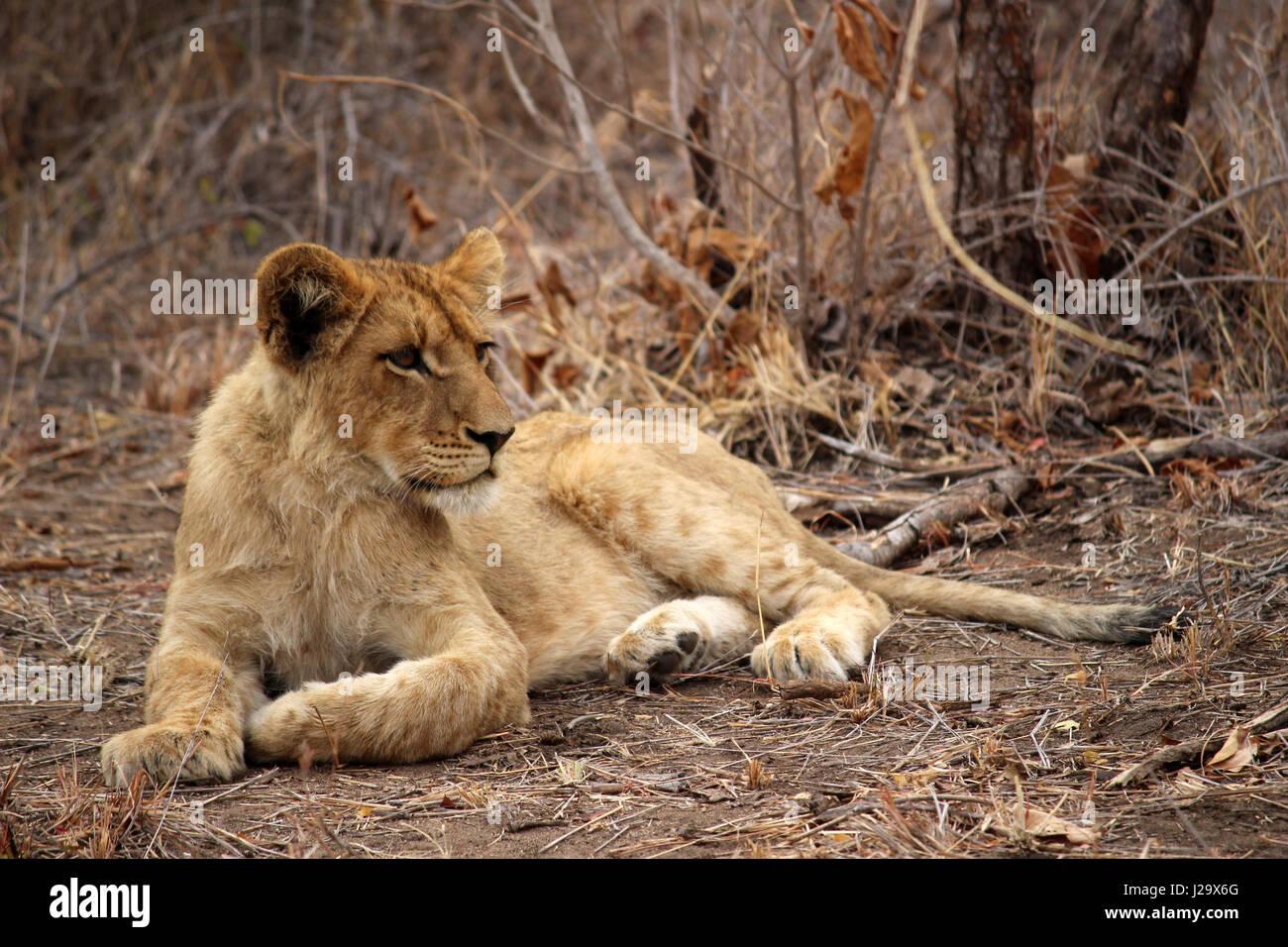 Impresionante cachorro de león salvajes descansando en el monte Foto de stock